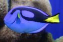 Animal-World info on Blue Tang
