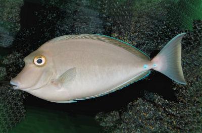 Bluespine Unicornfish - Naso unicornis