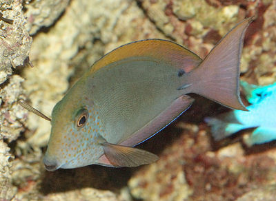 Picture of a Brown Surgeonfish or Lavender Tang, Acanthurus nigrofuscus