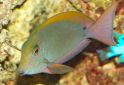 Click for more info on Brown surgeonfish