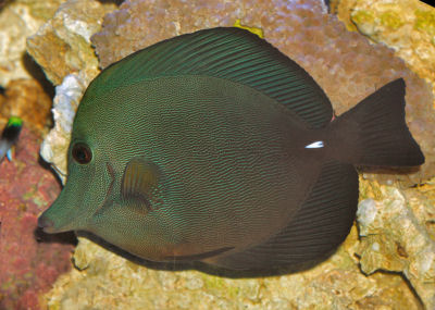 Picture of a Twotone Tang, also called the Brown Sailfin Tang or Scopas Tang, Zebrasoma scopas