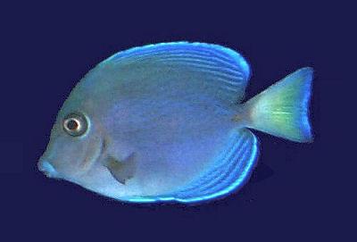 Blue Tang Surgeonfish, Acanthurus coeruleus