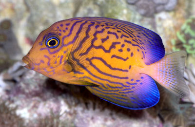 Picture of a Chevron Tang or Hawaiian Bristletooth - Ctenochaetus Hawiianensis