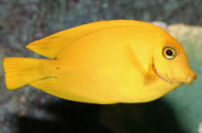 Picture of a Chocolate Tang or Mimic Tang