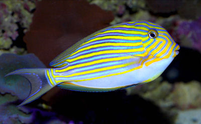 Picture of a Clown Tang, Lined Tang, or Blue-lined Surgeonfish - Acanthurus lineatus