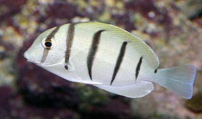 Convict Surgeonfish, Acanthurus triostegus