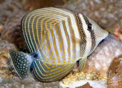 Picture of a Desjardin's Sailfin Tang or Red Sea Sailfin Tang - Zebrasoma desjardinii