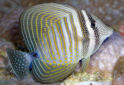 Click for more info on Desjardin's Sailfin