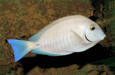 Picture of a Doctorfish, Acanthurus chirurgus