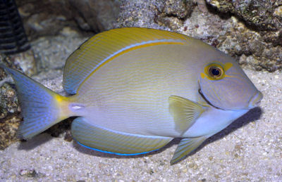 Picture of an Eyestripe Surgeonfish or Pencilled Surgeonfish, Acanthurus dussumieri