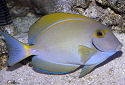 Click for more info on Eyestripe Surgeonfish