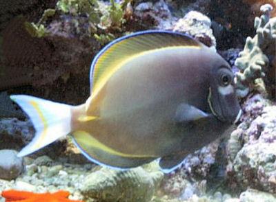 Gold-rimmed Tang, Acanthurus nigricans, Whitecheek Surgeonfish