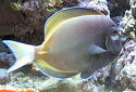 Animal-World info on Gold-rimmed Tang