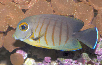 Picture of an Indian Ocean Mimic Surgeonfish, Acanthurus tristis