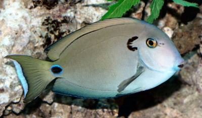 Picture of a Doubleband Surgeonfish or Lieutenant Surgeonfish, Acanthurus tennentii