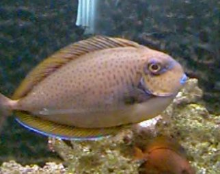 Picture of an Elongate Unicornfish or Lopez's Unicornfish - Naso lopezi