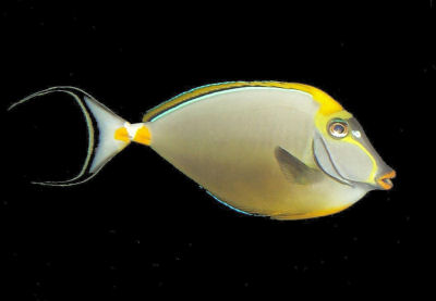 Picture of a Blonde Naso Tang, Elegant Unicornfish, or Indian Orangespine Unicornfish - Naso elegans