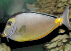 Naso Tang, Lipstick Tang - Orangespine Unicornfish - Naso lituratus