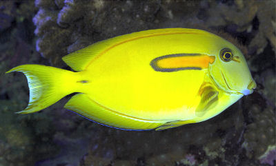 Picture of an Orangespot Surgeonfish or Orange Shoulder Tang - Acanthurus olivaceus