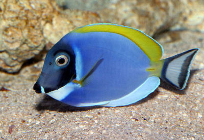 Picture of a Powder Blue Tang - Acanthurus leucosternon