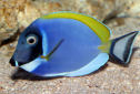 Animal-World info on Powder Blue Tang