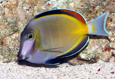 Powder Brown Tang Acanthurus japonicus, Japan Surgeonfish, White-faced Surgeonfish