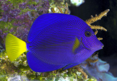 Picture of a Purple Tang or Yellowtail Sailfin Tang - Zebrasoma xanthurum