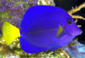 Animal-World info on Purple Tang