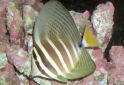 Animal-World info on Sailfin Tang