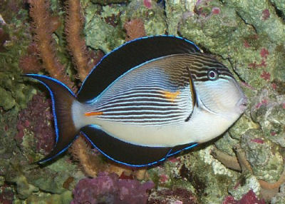 Picture of a Sohal Tang or Red Sea Clown Tang -Acnathurs sohal