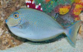 Vlamingi Tang Bignose Unicornfish Naso Vlamingii Vlamings