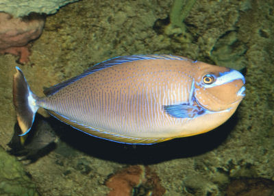 Vlamingi Tang Bignose Unicornfish Naso Vlamingii Vlamings
