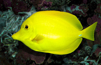 Picture of a Yellow Tang or Yellow Sailfin Tang - Zebrasoma flavescens