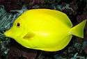 Click for more info on Yellow Tang