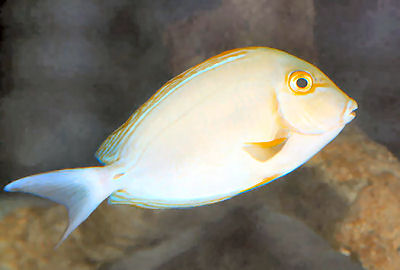 Picture of a Yellowfin Surgeonfish, Acanthurus xanthopterus