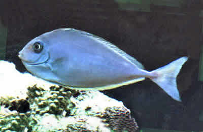 Picture of a Sleek Unicornfish or Blacktongue Unicornfish, Naso hexacanthus