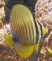Picture of a juvenile Desjardin's Sailfin Tang or Red Sea Sailfin Tang - Zebrasoma desjardinii