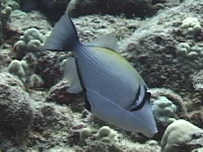 Picture of a Bursa Triggerfish