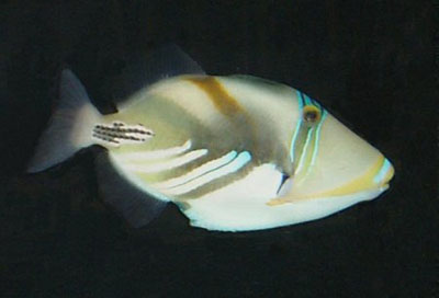 Picture of a Picasso Triggerfish - Huma Huma Trigger - Whitebanded Triggerfish - Painted Triggerfish