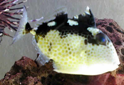 Picture of a Starry Triggerfish, Abalistes stellatus