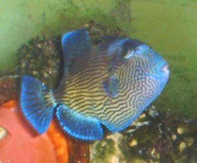 Picture of a Yellow-spotted Triggerfish or Blue-and-Gold Triggerfish, Pseudobalistes fuscus