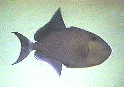 Picture of a Blue Triggerfish, Black Triggerfish or Redtooth Triggerfish