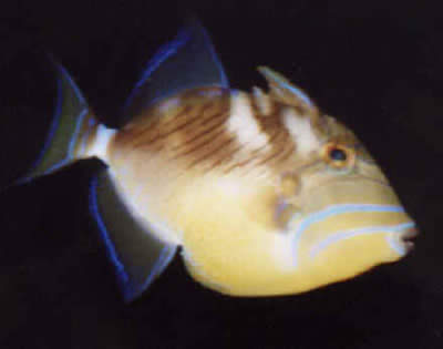 Picture of a Queen Triggerfish, Balistes vetula