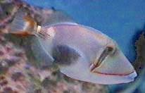 Picture of a Blackpatch Triggerfish