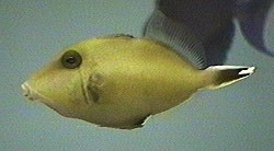 Picture of a Brown Triggerfish