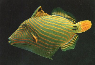 Picture of an Undulate Triggerfish or Orange-lined Triggerfish, Balistapus undulatus