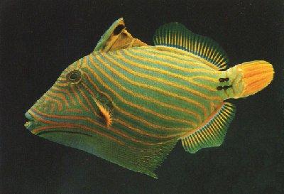 Picture of an Undulate Triggerfish or Orange-lined Triggerfish, Balistapus undulatus