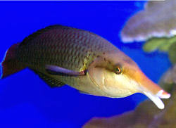Picture of a Blackbird Wrasse (female), Gomphosus varius