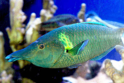 Green Bird Wrasse, male Bird Wrasse, Gomphosus varius, Greenbird Wrasse