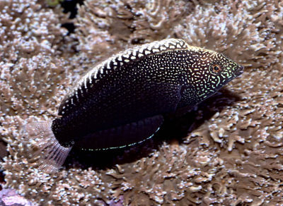 PIcture of a Black Leopard Wrasse or Yellowspotted Wrasse, Macropharyngodon negrosensis